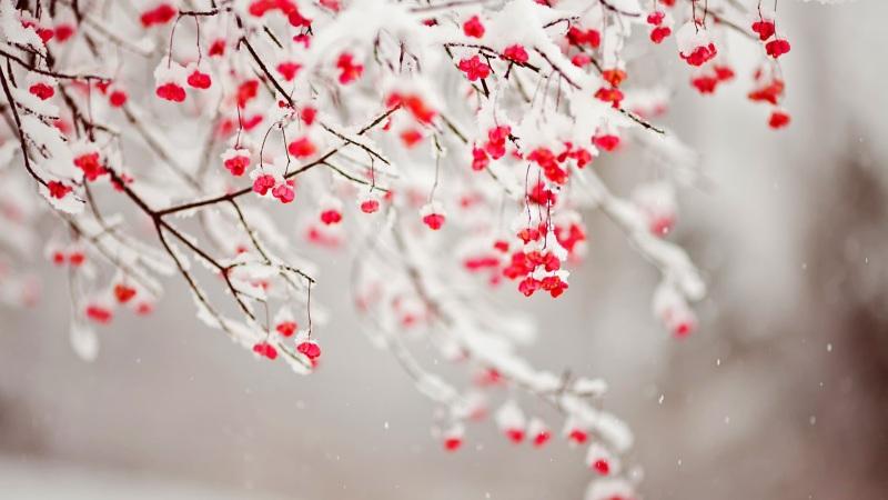 red-berries-snow